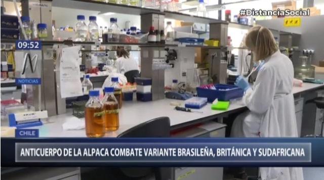 Coronavirus: Anticuerpo de la alpaca combate variantes brasileña, británica y sudafricana, según estudio