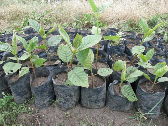 Amazonas: producirán 10 mil plantones de Quina en Luya y Chachapoyas como parte del plan de acción para su repoblamiento en la región