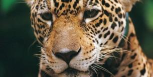 Perú solicitará la conservación del jaguar en convención mundial de especies migratorias