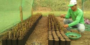 Arbol de la Quina: se tiene programado la producción de aproximadamente 60,000 plantones de la Quina hasta fin de año
