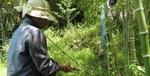 Bongará: la autoridad regional ambiental inició el repique de 20 mil plantones de bambú
